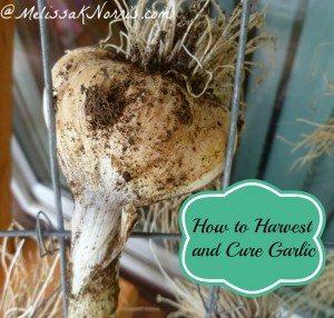 harvestandcuregarlic