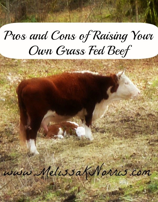 Pros and Cons to Raising Grass Fed Beef www.melissaknorris.com
