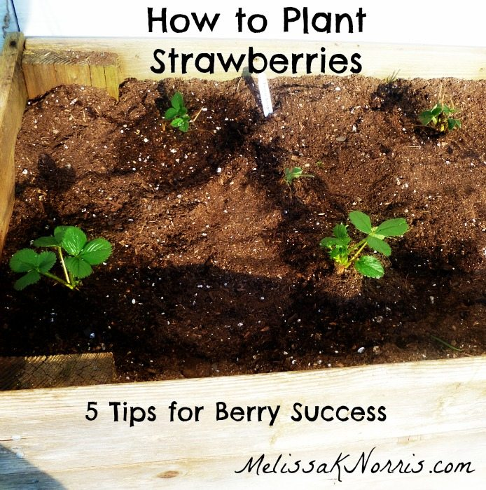 How to plant strawberries @MelissaNorris 5 tips for berry success