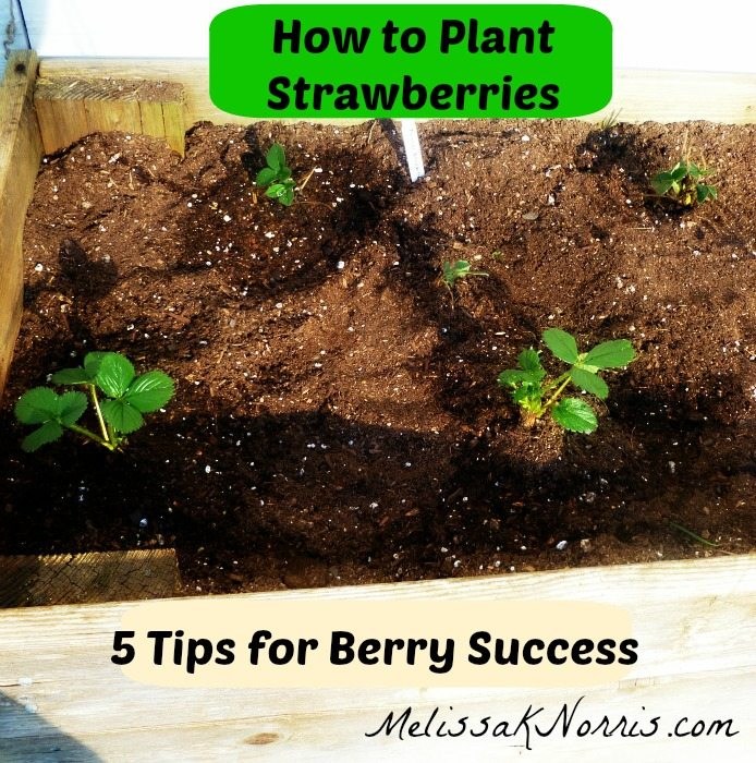 How to Plant Strawberries www.MelissaKNorris.com