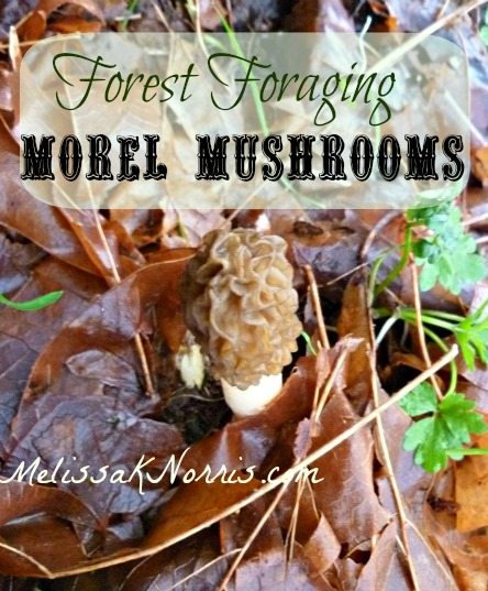Forest Foraging-Morel Mushrooms @MelissaKNorris
