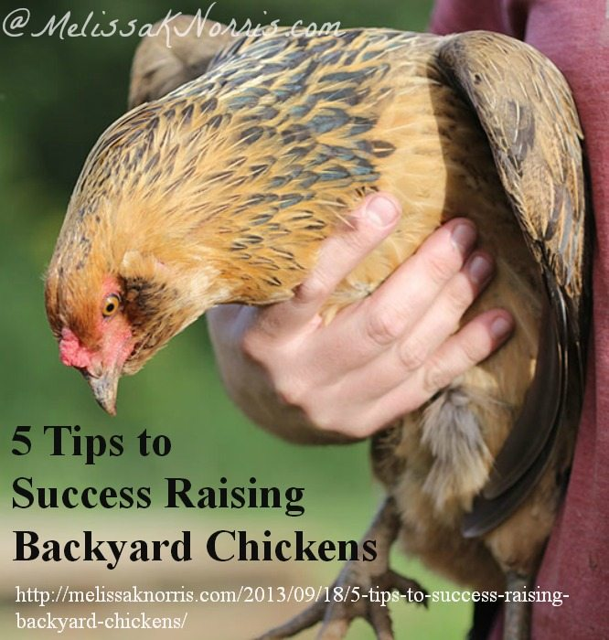 5 Tips to Success Raising Backyard Chickens www.melissaknorris.com Pioneering Today