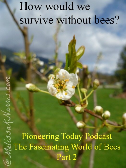 Pioneering Today Podcast Episode #8 Fascinating World of Bees www.melissaknorris.com