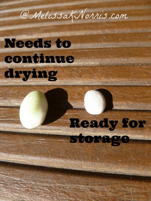 When seeds are ready for storage phase www.melissaknorris.com