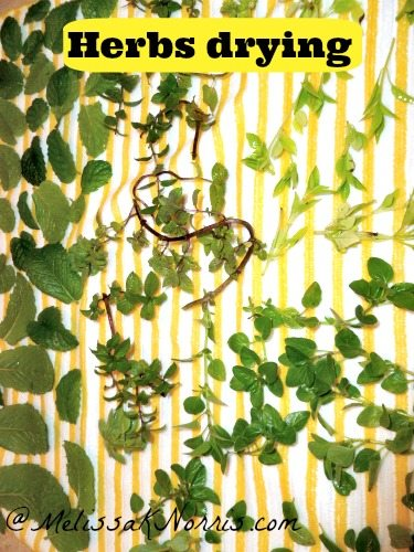Herbs drying before dehydrating www.melissaknorris.com Pioneering Today
