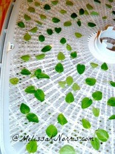 How to dry herbs www.melissaknorris.com Pioneering Today