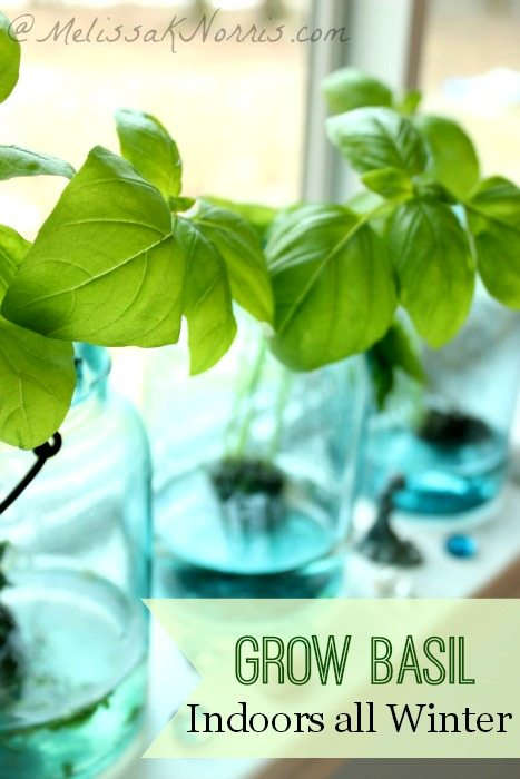 "Three jars with basil plants growing in them on a windowsill. Text overlay says, ""Grow Basil Indoors All Winter""."