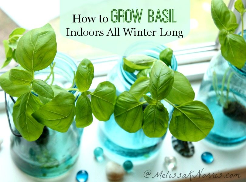 How to grow basil indoors all winter long without soil. Harvest fresh herbs year round and never plunk down money at the store for herbs again.