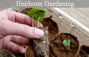 Heirloom gardening- how the pioneers did it at www.MelissaKNorris.com