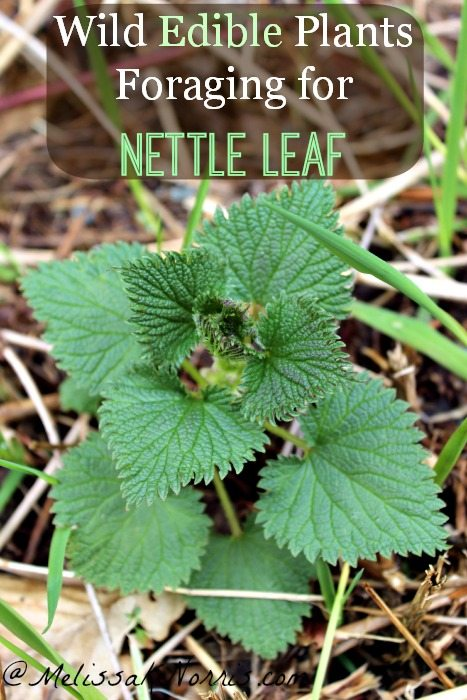 Wild Edibles Foraging for Nettle Leaf Learn how to forage for wild edibles, starting with the versatile nettle leaf, perfect for food and medicine
