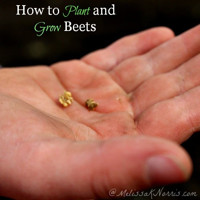 How to plant and grow beets, soil type, planting tips, and why your beets won't grow if you don't do this crucial step