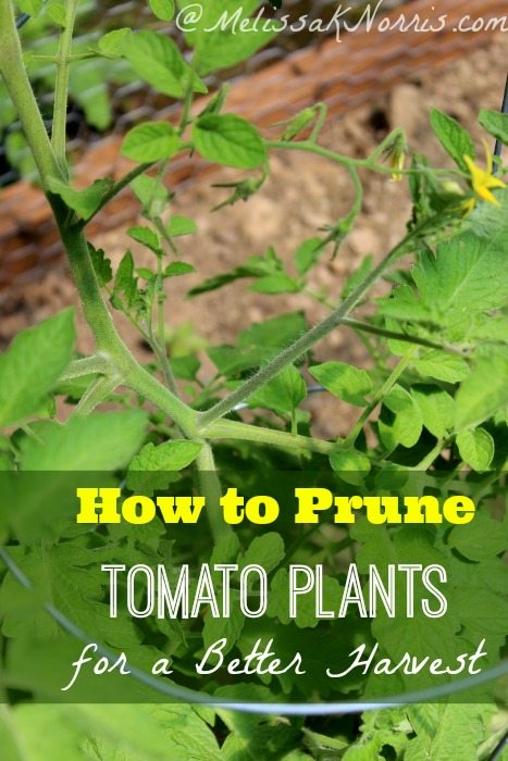 How to prune tomato plants for the best harvest ever. Love these tips on how to get more yield from your plants.