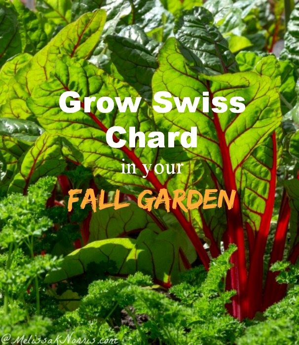 Grow Swiss Chard in Your Fall Garden. I'm so excited to grow a fall garden this year and increase our growing season. Great tips on sowing swiss chard, how to grow it, and way to even eat the stalks!