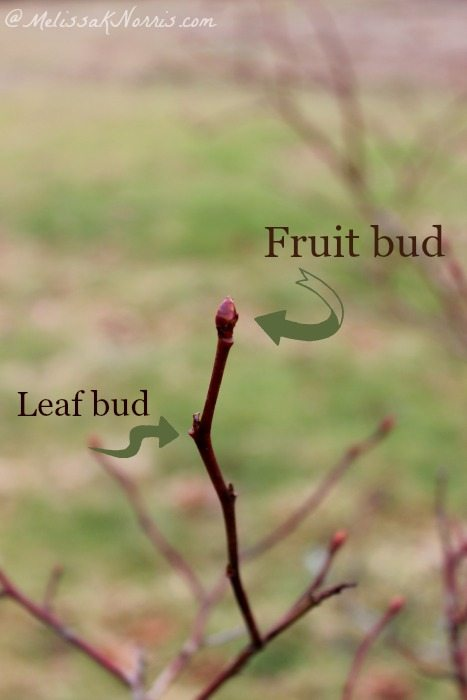 How To Prune A Blueberry Bush For A Larger Harvest