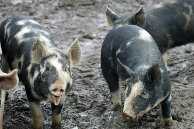 12 Tips On How To Raise Pigs For Meat Melissa K Norris