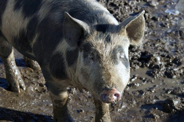 12 Tips on How to Raise Pigs for Meat – Melissa K  Norris