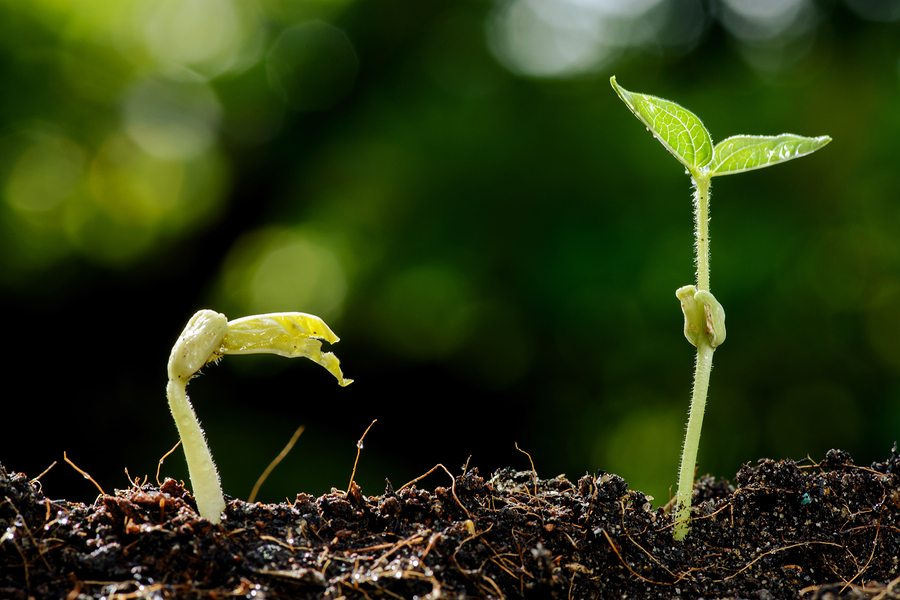 Two plant sprouts growing up out of soil.