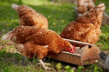 Raising Baby Chicks- Beginners Guide for the First 6 Weeks