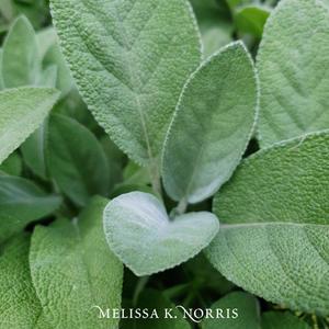 8 Medicinal Herbs & Their Uses for Growing an Herbal Tea Garden sage leaf growing in container