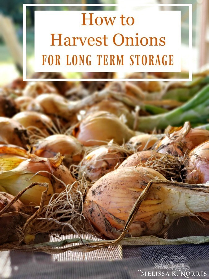 How to harvest onions for long term storage