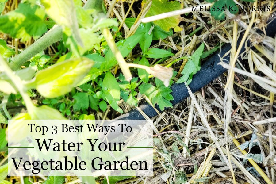 Best way to water vegetable garden to help eliminate disease and increase yield soaker hose at base of tomato plants