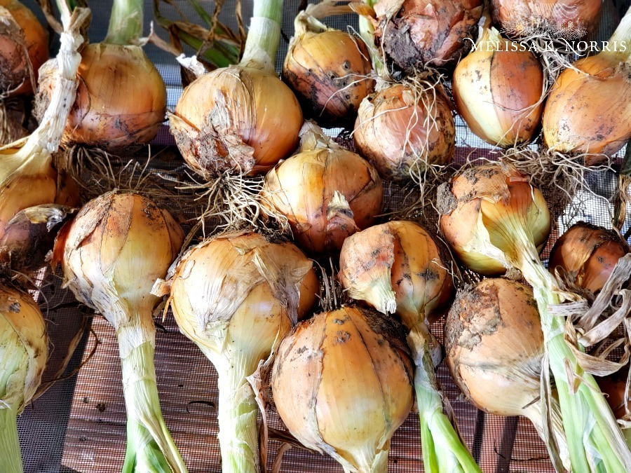 A table filled with onions ready for storage.