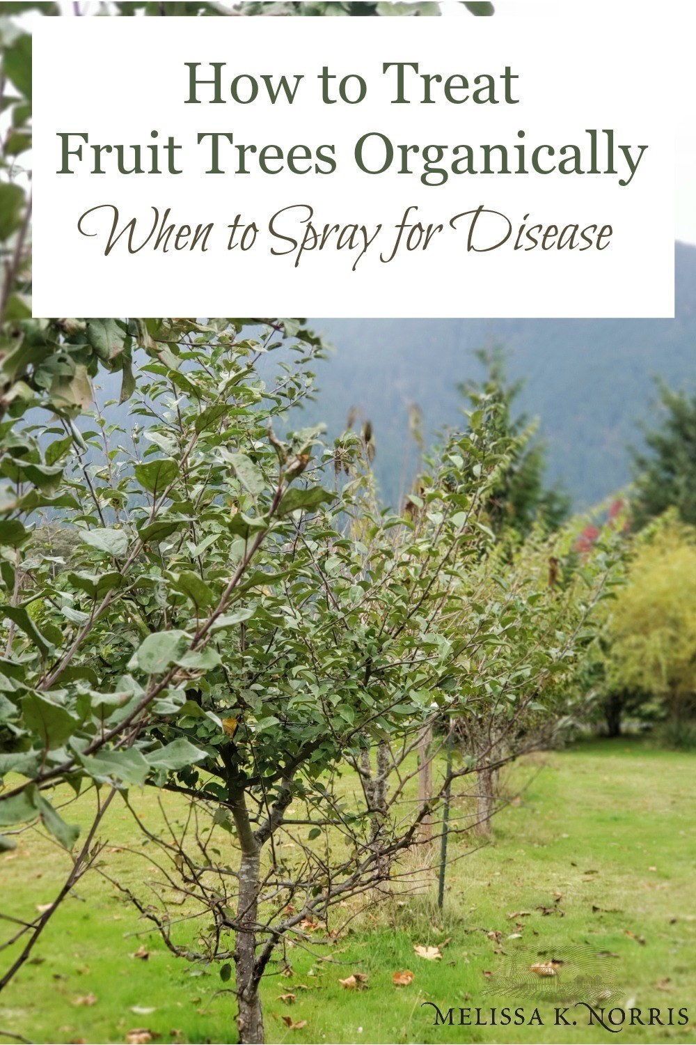 Learn how to treat fruit trees organically and when to spray for disease and pests. Plus, what you can spray on your fruit trees naturally to help with diseases and insects in a home orchard setting.