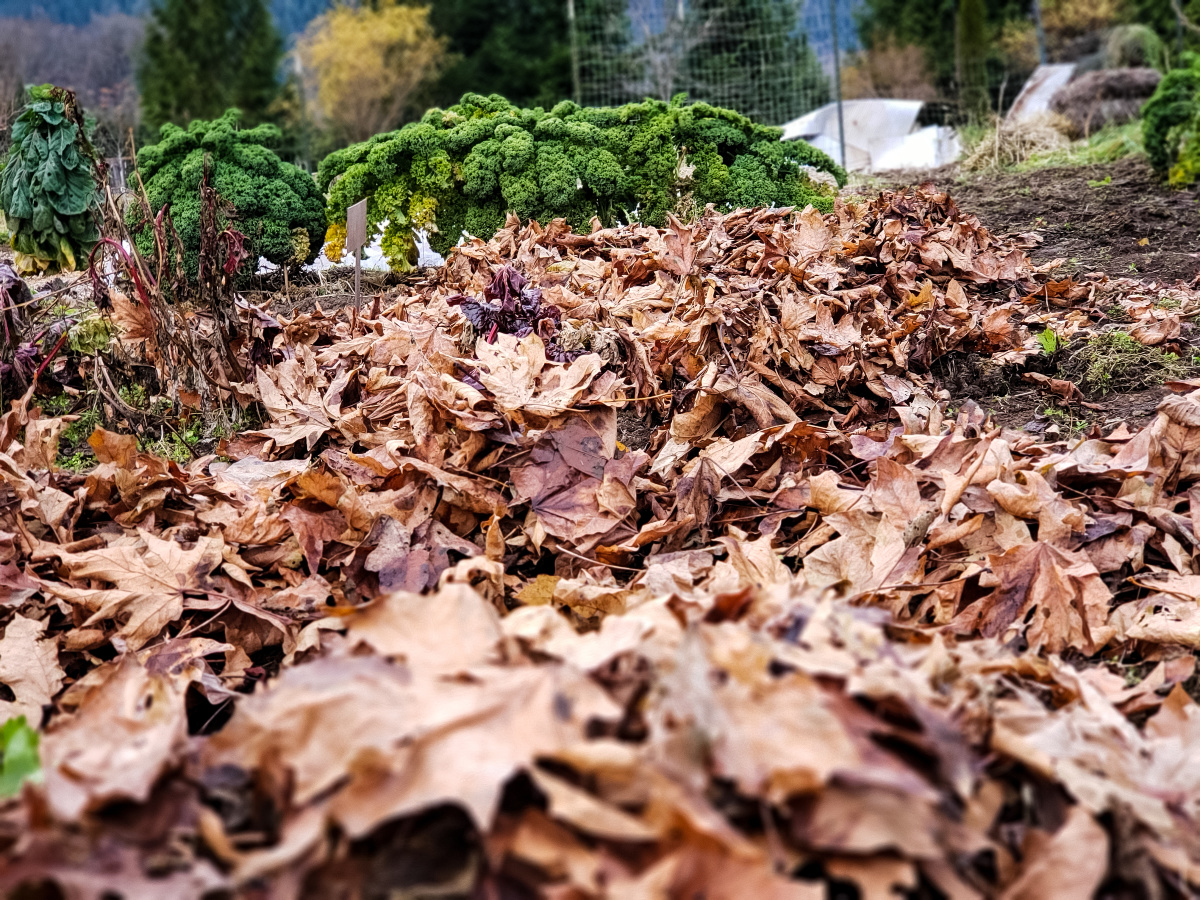 A garden with dry leaves mulched on top of the bed.