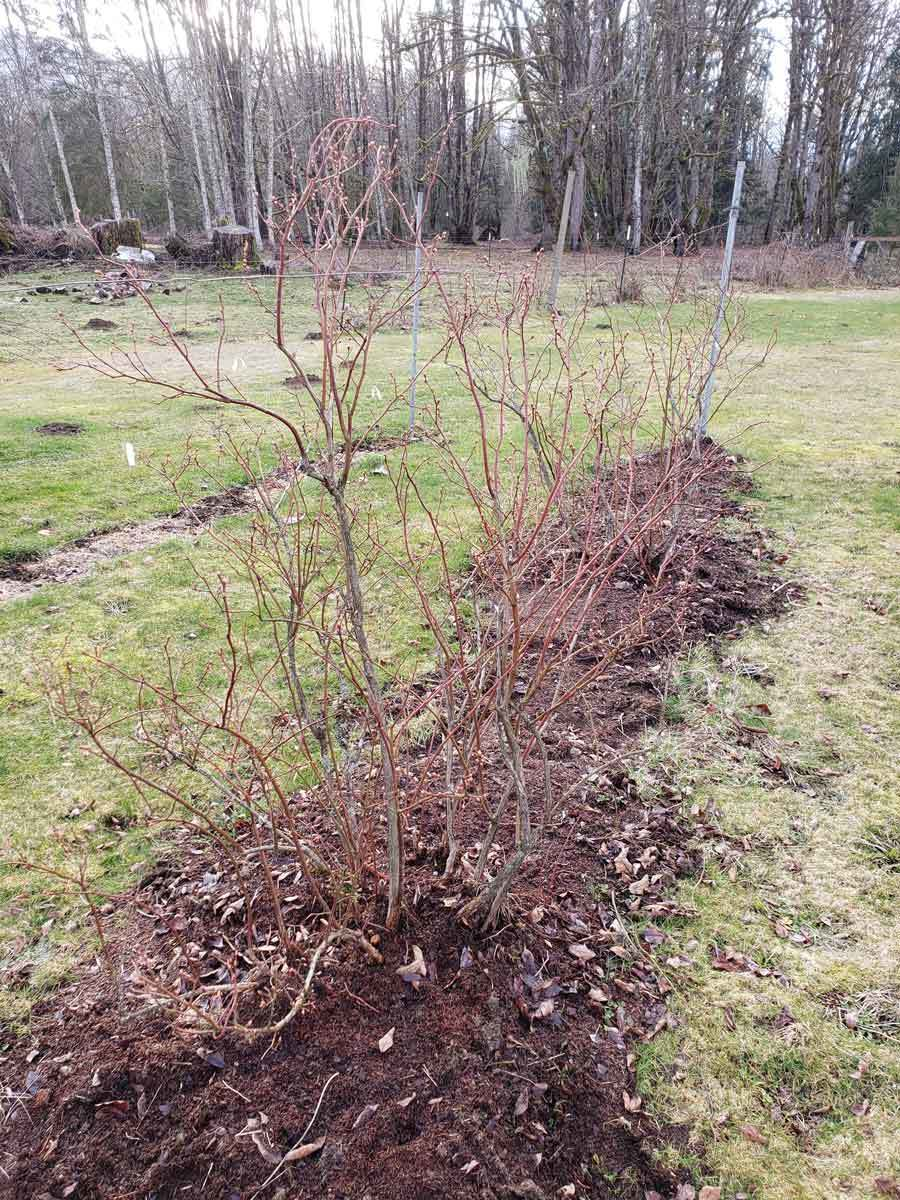 A row of blueberry bushes without leaves.