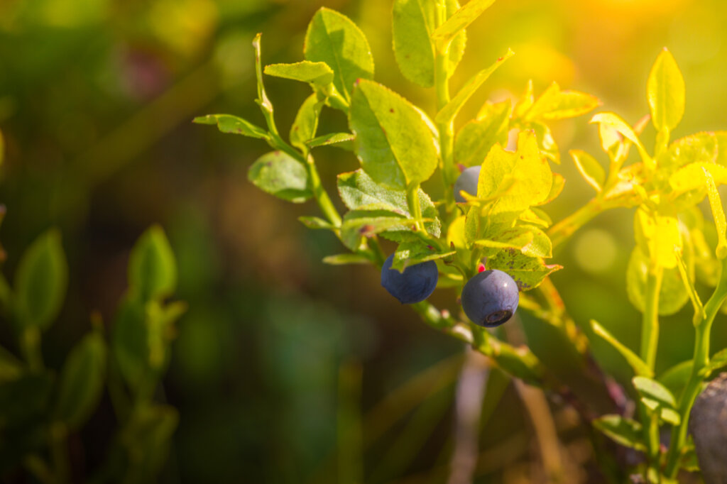 ripe blueberries on bush in summer