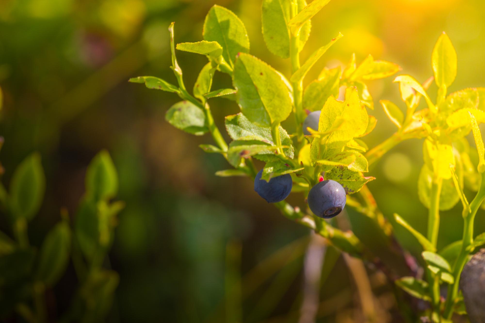 ripe blueberries on bush in summer