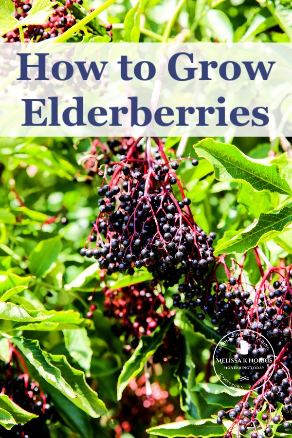 Growing elderberries complete guide