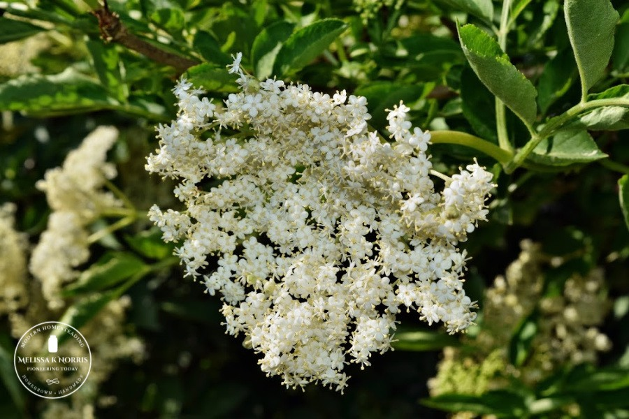 white elderberry blossom