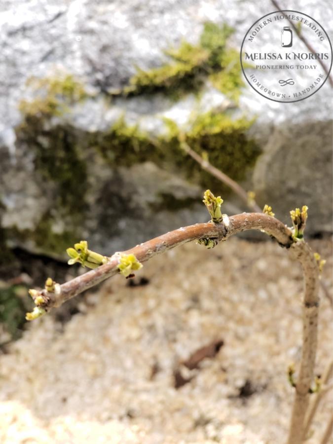 Eurpean elderberry Sambucus Nigra