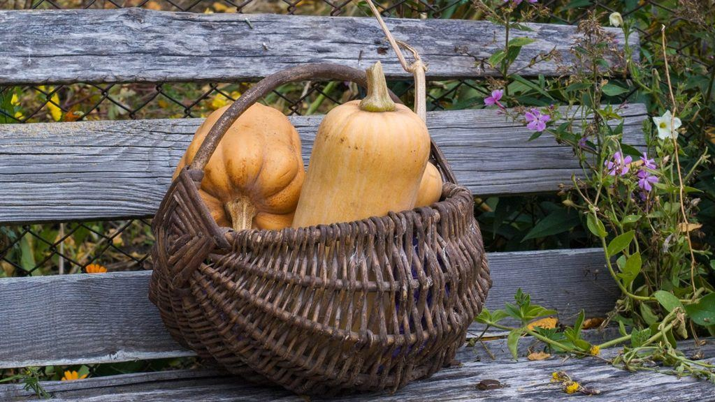 butternut squash in basket on garden bench