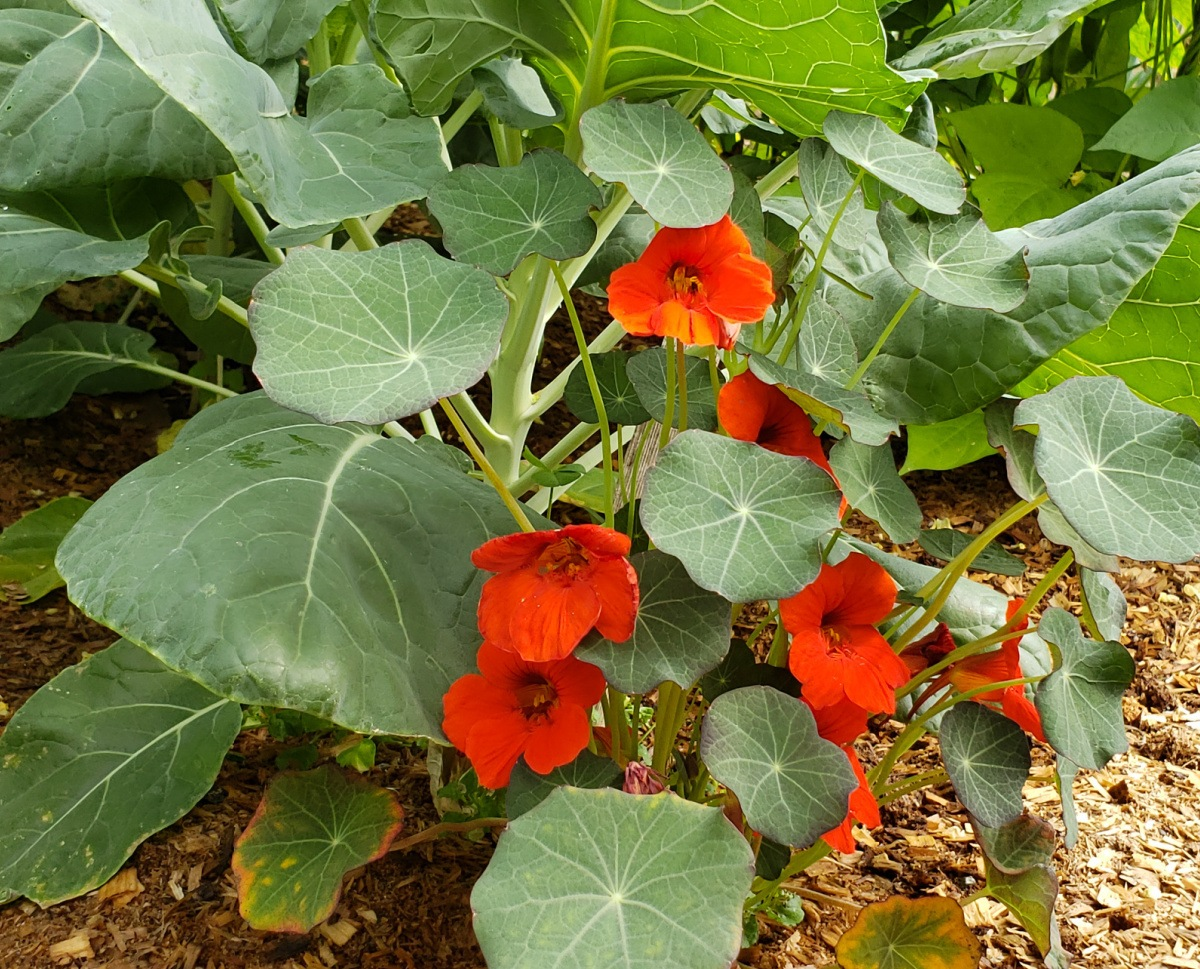 Orange nasturtium at base of brussel spants to repel bugs naturally