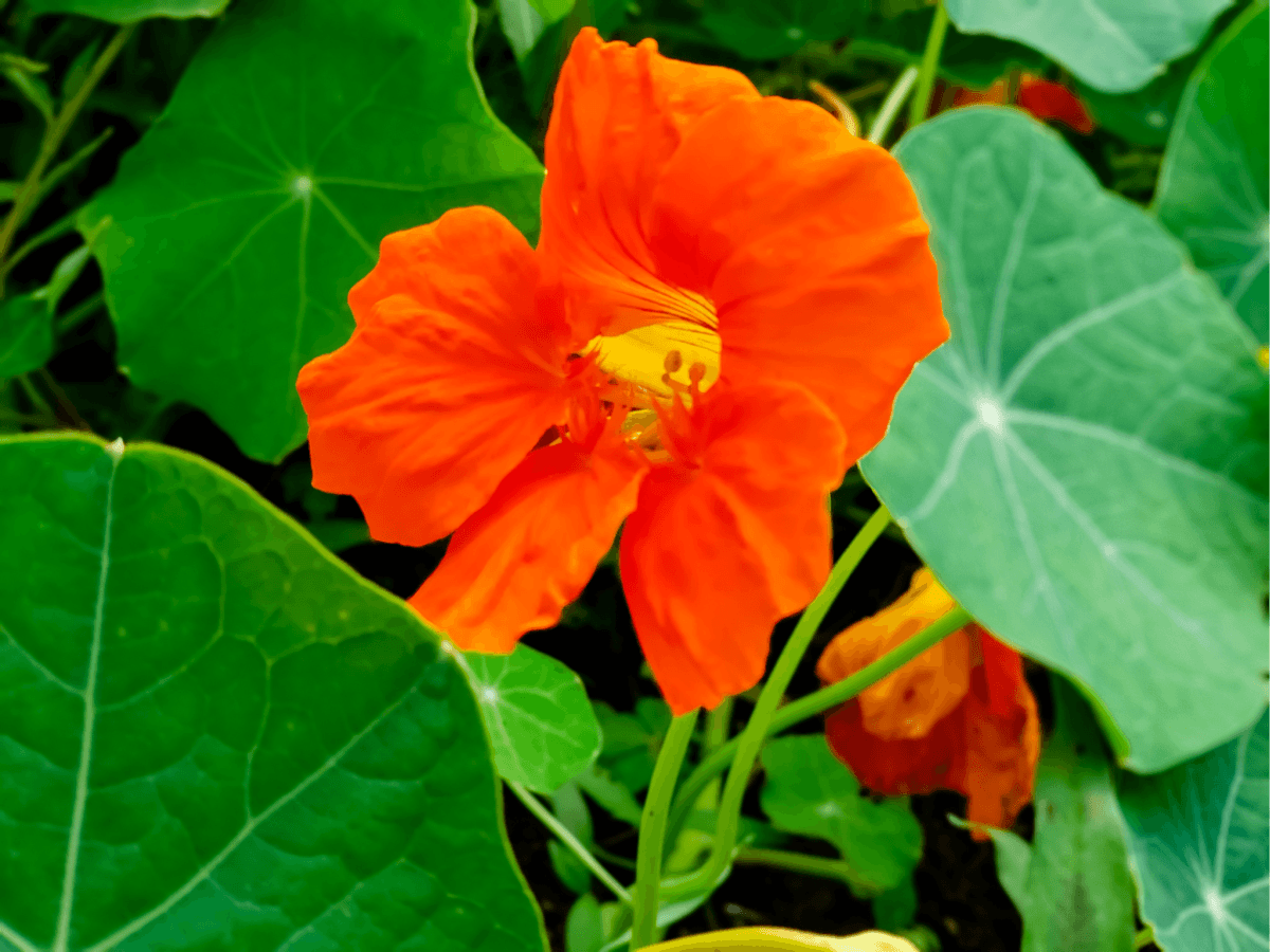 orange nasturtium to repel cabbage moth