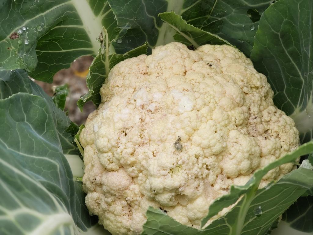 cauliflower in fall garden