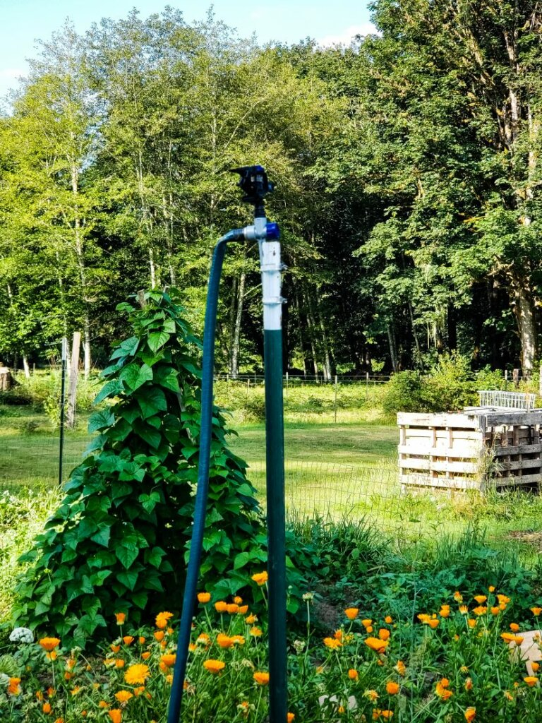 A raised hose spigot with a teepee of beans growing behind it.