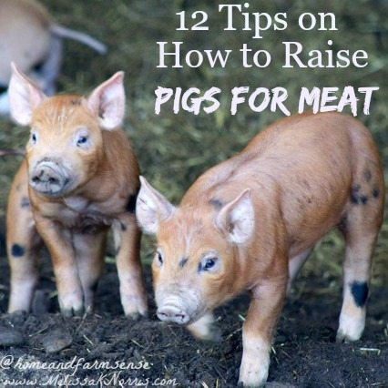 """Picture of two baby pigs with text overlay, """"12 Tips on How to Raise Pigs for Meat""""."""