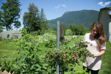 A woman picking raspberries with mountains in the background.