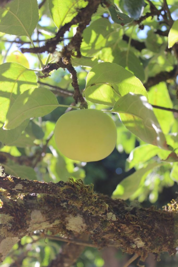 "Picture of an apple hanging from a branch with sunshine streaming through the background. Text overlay says ""5 Tips to Starting an Orchard and Growing Fruit on Your Homestead""."