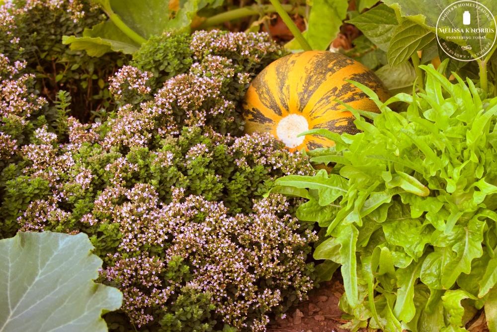 organic squash and oregano growing in garden