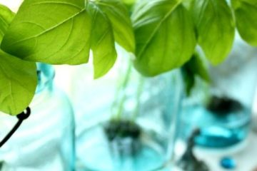 """Three jars with basil plants growing in them on a windowsill. Text overlay says, """"Grow Basil Indoors All Winter""""."""