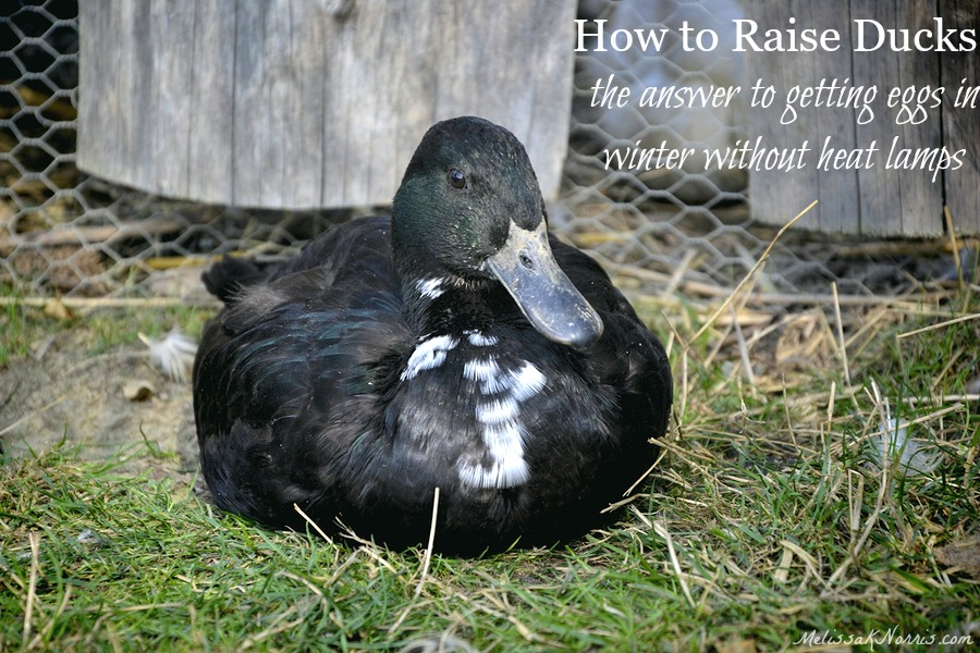 "Image of a duck laying down in the grass. Text overlay says, ""How to Raise Ducks: the answer to getting eggs in winter without heat lamps."""
