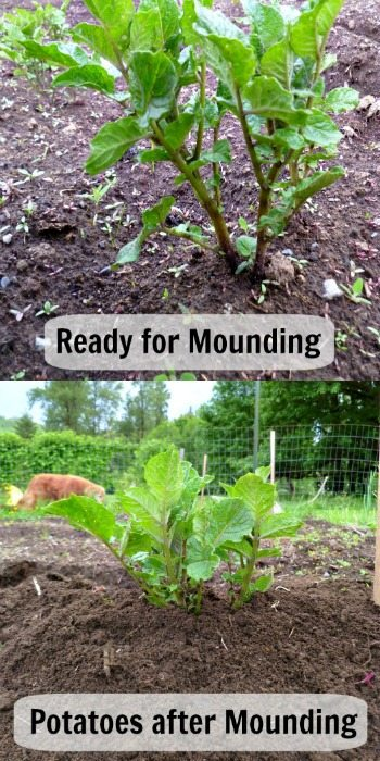 Two images, one of a potato plant with growth about 8 inches high, the other image of the potato having dirt mounded up and only a couple of inches showing.