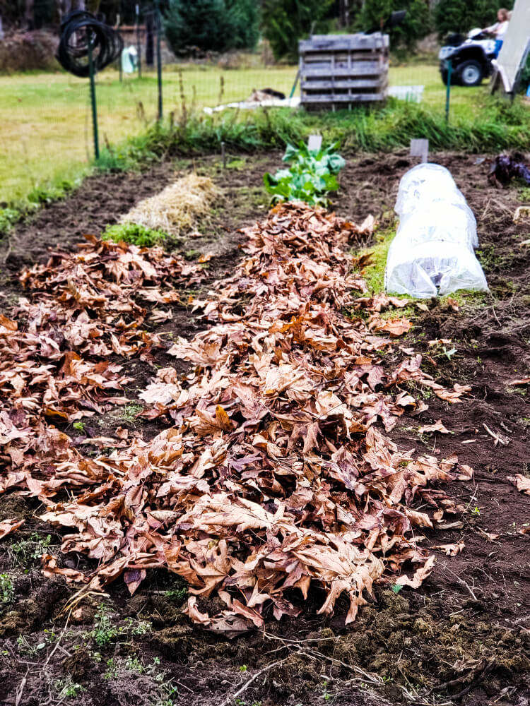 Image of a garden that has dried leaves layered on top of the soil for sheet composting.