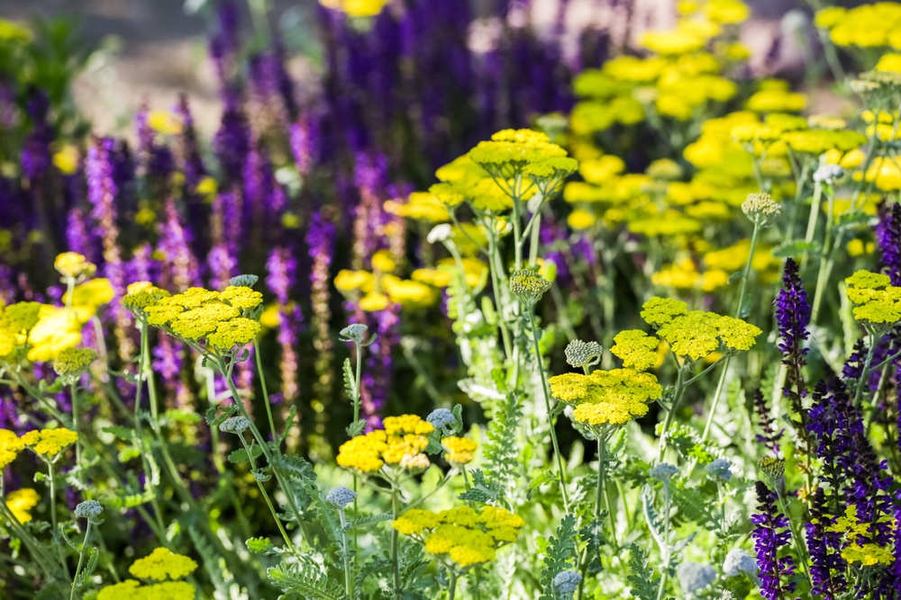 Yarrow in the foreground and lavender in the background.