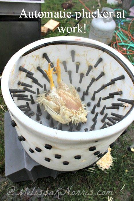 A chicken in a chicken plucker.