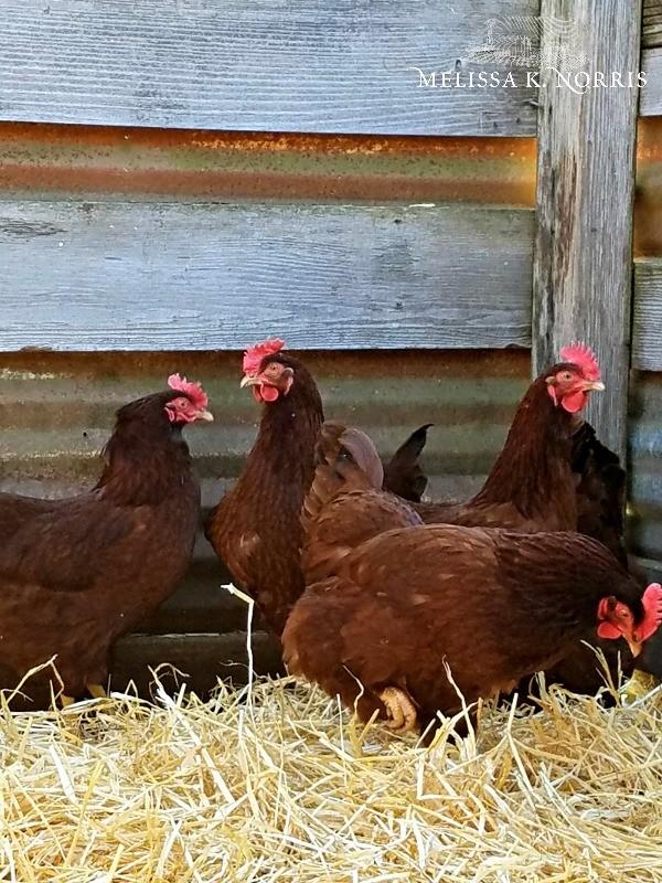 Chickens inside a chicken coop.